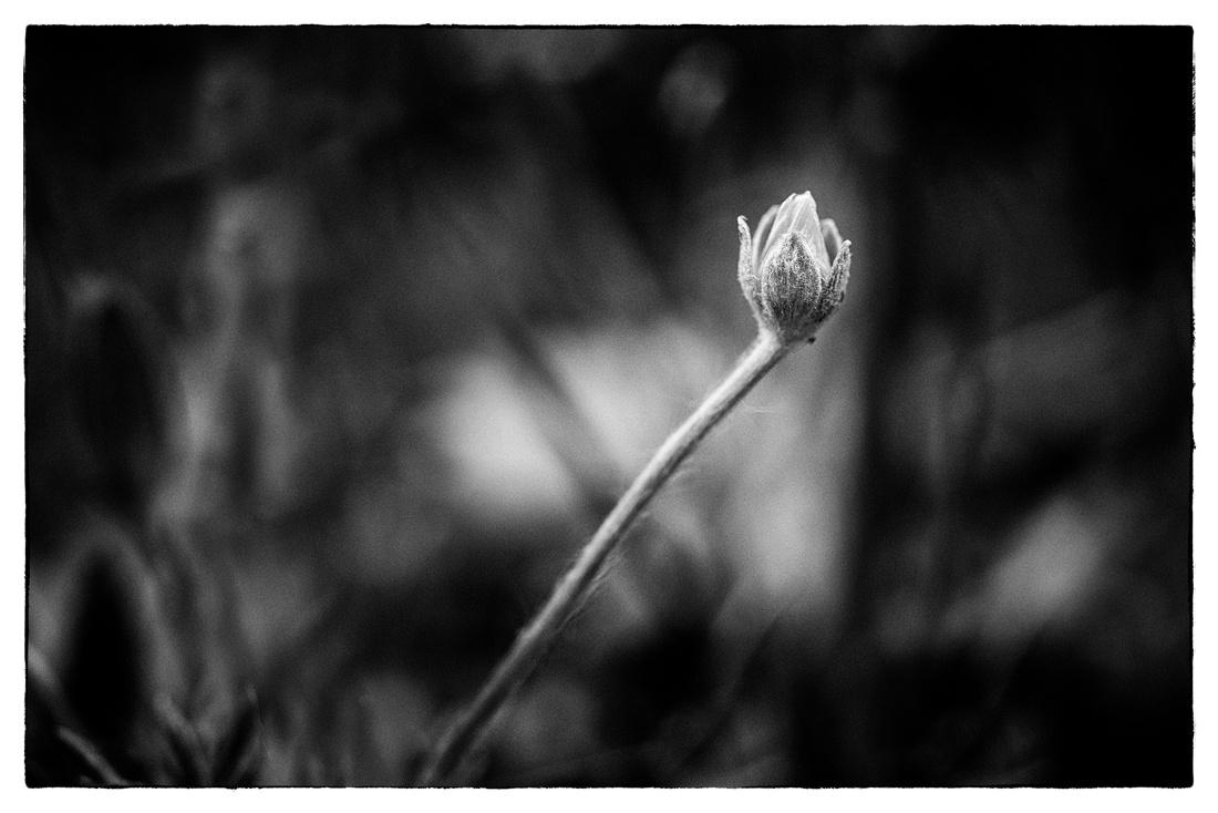 Tiny Flowers 4-4-2019 KMS BW